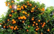 آغاز حمل پرتقالهای ذخیره سازی شده شب عید از مازندران به استانهای متقاضی